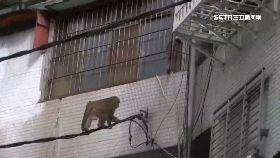 北市猴亂竄1200