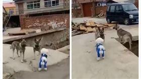 農村,狗,看門犬,女神,墜河(圖/翻攝自微博)