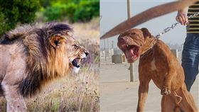 獅子,比特犬,狗,咬傷 (合成圖/翻攝自pixabay、維基百科)