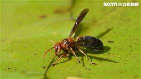 看清楚!遇到「黑腹虎頭蜂」10公尺以上是安全距離(林業試驗所提供)