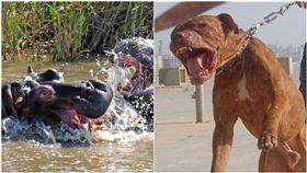比特犬,河馬,單挑,對打,攻擊(圖/翻攝自PIXABAY、維基百科