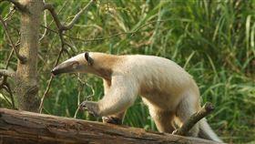 台北市立動物園有動物走失了!臺北市立動物園熱帶雨林區,負責照養南美小食蟻獸的保育員,於9月1日早上巡視戶外活動場時,發現小食蟻獸「小紅」和小仔失蹤。(圖/台北市立動物園提供)