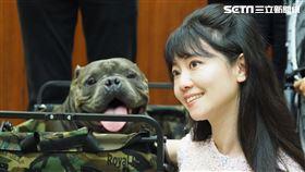 美國惡霸犬:我很醜但我很溫和。高嘉瑜(圖/記者陳政宇攝影)