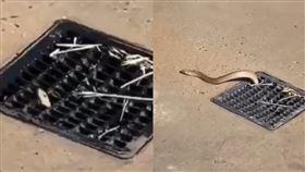 海邊淋浴間毒蛇定居2年!30秒「擠出」排水孔 專挑女嚇(圖/翻攝自Snake Catchers Adelaide臉書)