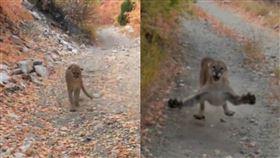 美洲獅,野跑,攻擊,驚險