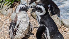 黑腳企鵝 敷蛋 (圖/翻攝自pixabay)