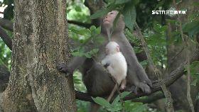 驚喜小白猴1200