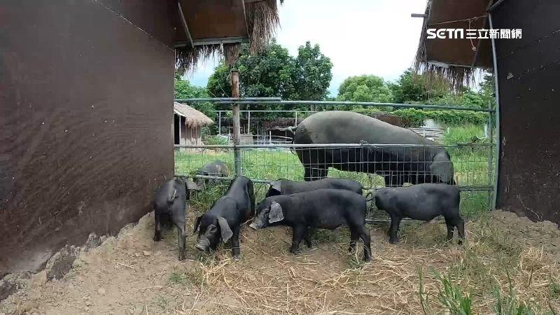 雞隻排泄自然分解 青農挑戰有機豬