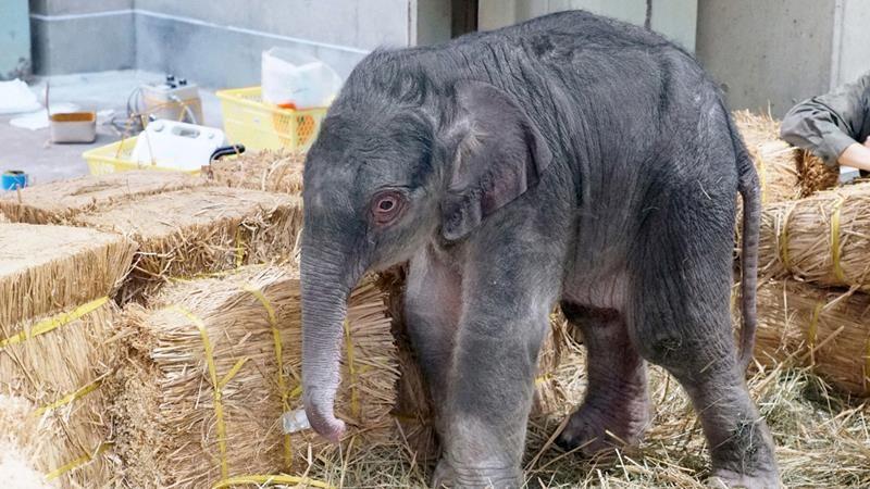 開園138年首見!東京上野動物園「大象生寶寶」母子均安