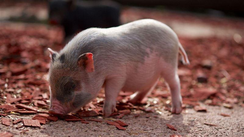 原來這是發財夢?夢到豬趕快去買樂透