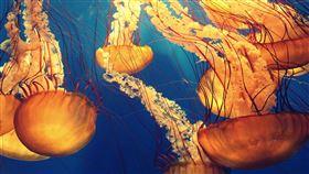 水母。(圖/翻攝自Pixabay)