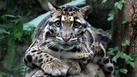 動物園,貓科動物,「大貓」和「小貓」的界定,可未必是以體型來區分呦!(雲豹「Suki」)(圖/台北市立動物園提供)
