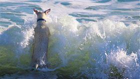 寵物,澳洲,狗狗,鯊魚,渡假,海邊(圖/翻攝自Pixabay)