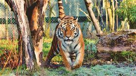 老虎(圖/翻攝自Pixabay)