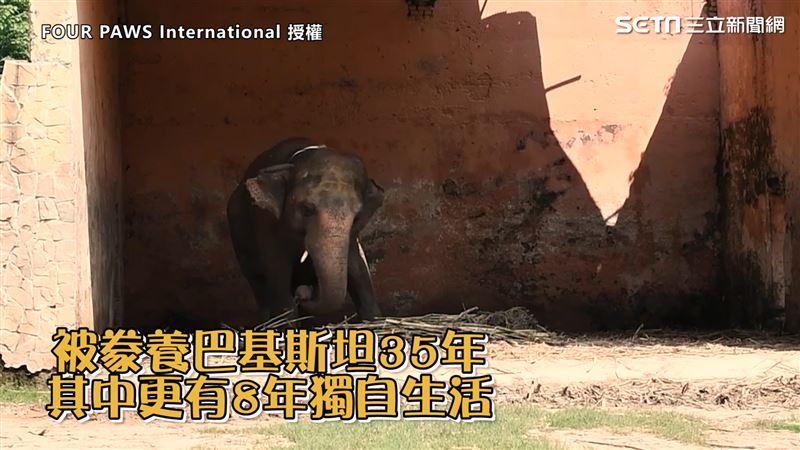 世界最孤獨大象 遭囚35年重獲自由
