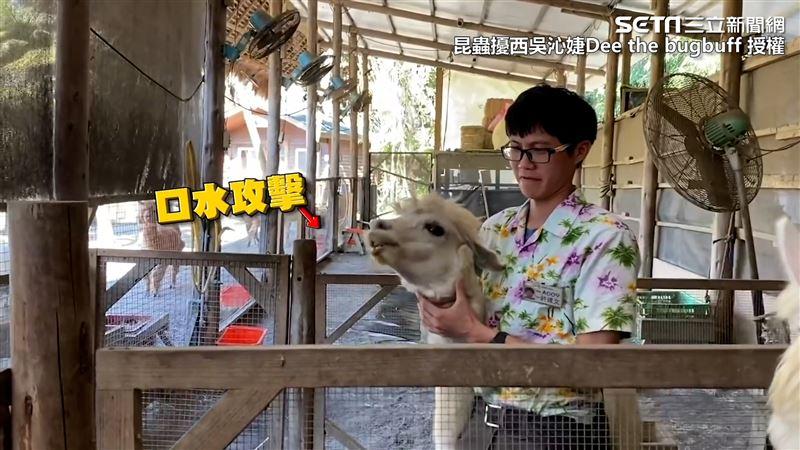 飼育員幫羊駝上藥 卻慘遭口水攻擊!