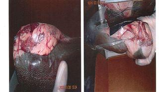 新/美牛舌爆驗出弓蟲 逾2千磅銷毀