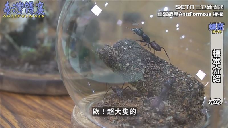 標本達人藝品大公開 驚見世界最巨蟻