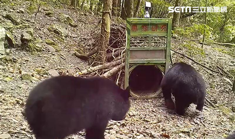 台灣黑熊頻現蹤 母熊帶小熊覓食影曝