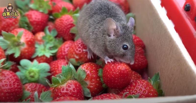 帶老鼠採草莓放任亂大便 網紅被轟爆