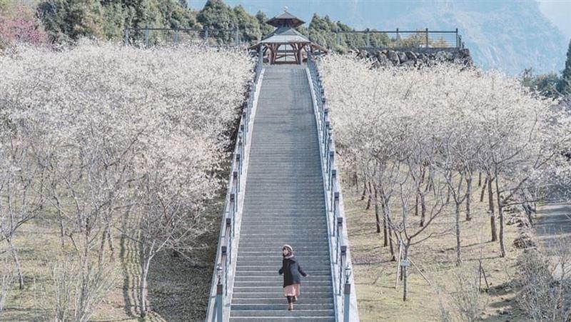 全台最美賞櫻點!雪白櫻花包圍階梯如通往仙境