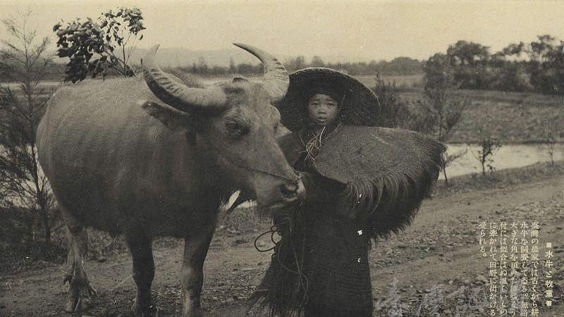 老照片故事/百年前台灣水牛照片曝光 他做這件事感動萬人