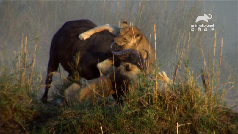 直擊公獅母獅齊打獵!大戰水牛誰能活