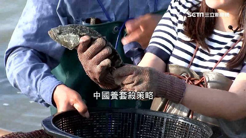 獨家/養套殺!龍膽石斑昔大量銷中國 關鍵技術外流結局慘