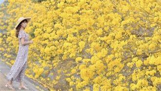 全台最美堤防!金黃花海大爆開超壯觀