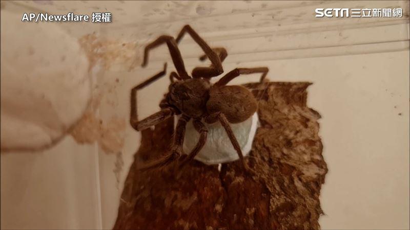 澳洲巨大獵人蛛 近距離直擊織網過程