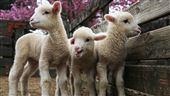 清境農場牧羊人體驗活動3/15開放