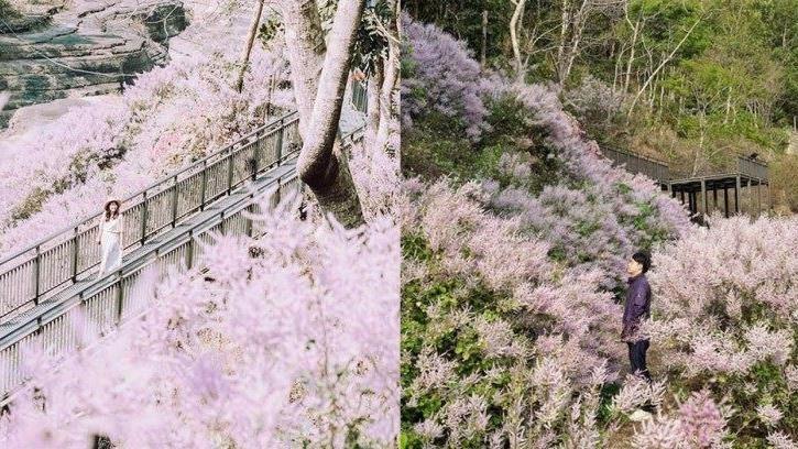 「台版大峽谷」淡紫色麝香木唯美盛開
