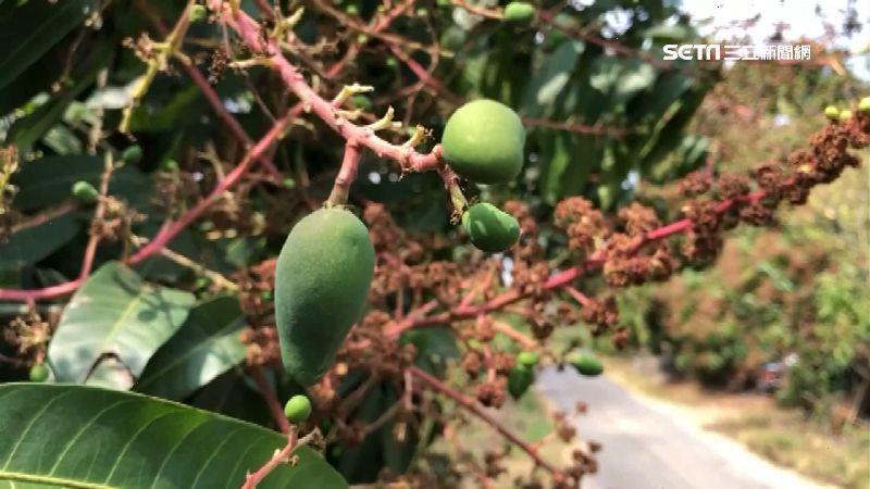 乾旱農民苦哈哈!芒果缺水灌溉難結果 春茶產量銳減逾3成 | 生活 | 三