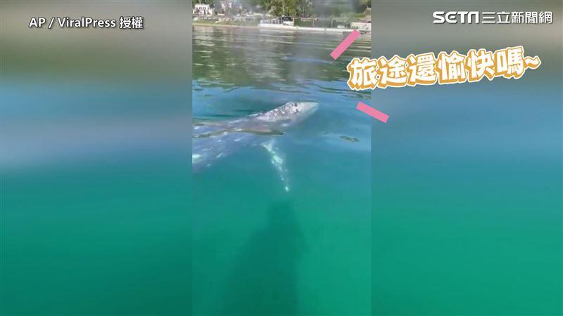 旅途巧遇玩伴 灰鯨討摸網喊「羨慕」