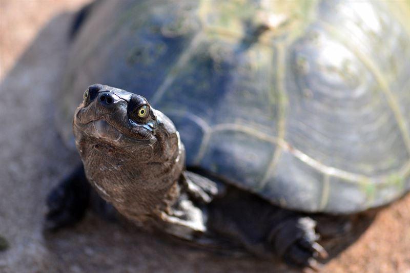 老翁釣「怪烏龜」…專家驚:值75億