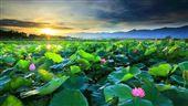 放鬆一下!白河商圈蓮花季來了!