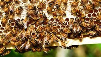 荷蘭:蜜蜂能聞出新冠病毒準度95%