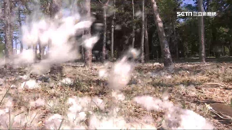 獨/木棉樹飄落五月雪?居民:快瘋了