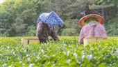 福壽山農場春茶開放第二批網路預訂