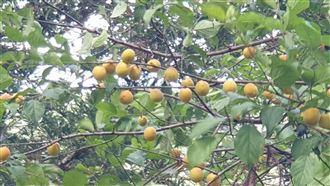 武陵農場梅子黃了 降雨帶來生態盎然