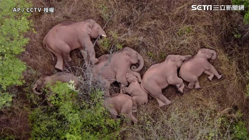亞洲象大遷徙 集體逛街罕見側躺睡覺
