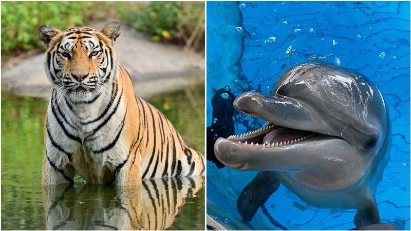 樂園動物轉當網紅!孟加拉虎、海豚、龍貓 線上吃播大賣萌 | 生活 | 三