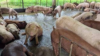 廚餘養豬 擬10月起規模須達2百頭