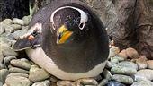 企鵝肚上的小黑洞「孵卵斑」大揭密
