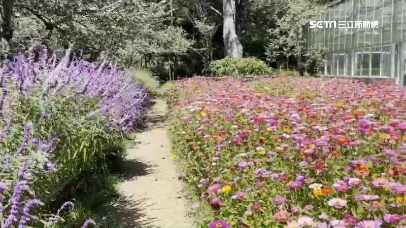楓葉紅了!鼠尾草綻放成「迎賓花毯」
