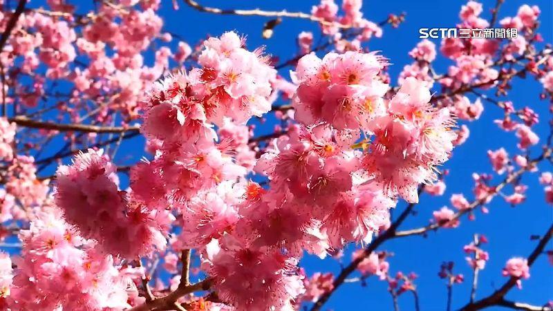 前有楓紅後有櫻花 美景農場訂房夯爆